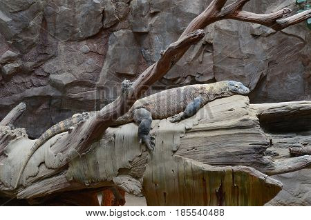 A Komodo dragon resting on a tree branch