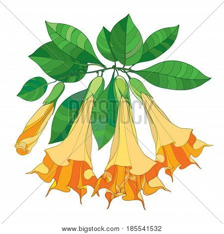 Vector branch with Brugmansia or Angels Trumpets. Outline orange flower, bud and green leaves isolated on white background. Floral elements in contour style with Brugmansia for summer design.