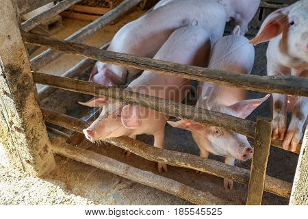 Farm / Little pigs / Small pigs in pigsty