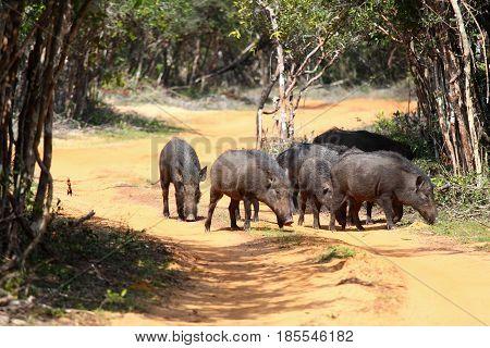 Herd of wild boars Sus scrofa cristalus. Walking boars national park Wilpattu Sri Lanka