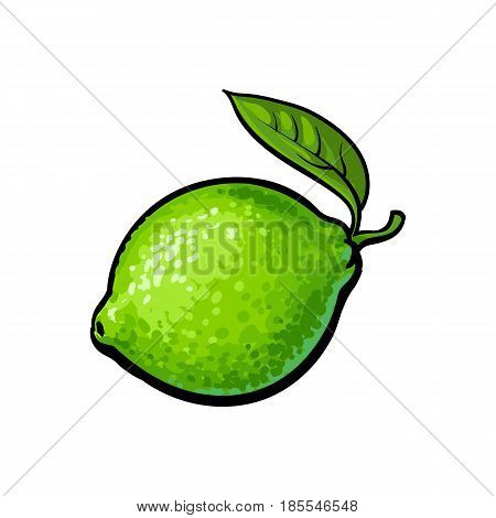 Whole shiny ripe green lime with a leaf, hand drawn sketch style vector illustration on white background. Hand drawing of unpeeled round whole lime with fresh green leaf