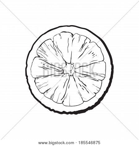 Top view round slice, half of ripe lime, sketch style vector illustration on white background. Hand drawn lime cut in half, round slice