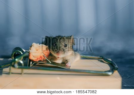 Cute house grey mouse or rat small rodent animal sitting at string mousetrap with bait indoors on blurred blue background. marketing and crisis freedom hopelessness concept