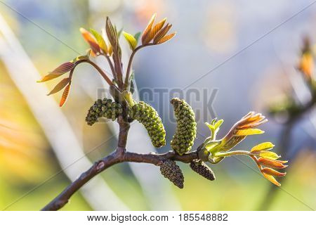 Walnut blooms. Walnuts young leaves and inflorescence on a city background. flower of walnut on the branch of tree in the spring. Honey plants Ukraine. Collect pollen from flowers and buds