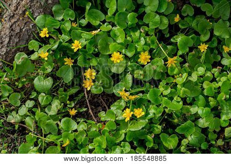 Primroses in forest, Buttercup spring, Ficaria verna. Natural organic background. Abstract symbol of first spring plants, seasons, weather. Modern wallpaper , green and yellow color