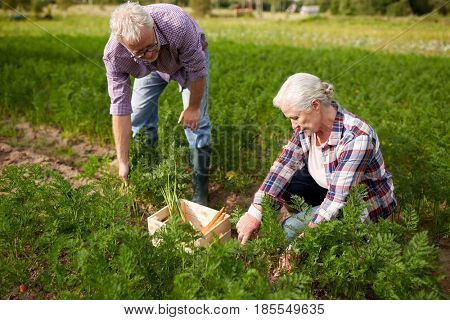 farming, gardening, agriculture, harvesting and people concept - senior couple with box picking carrots at farm garden