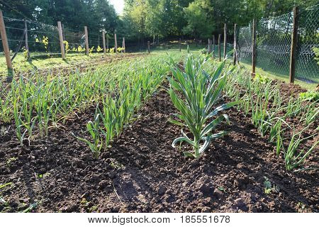 Garlic grows on the bed. Feathers green onion and garlic are growing in the garden.