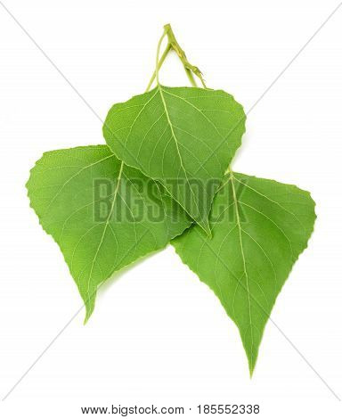 Green Poplar Leaves