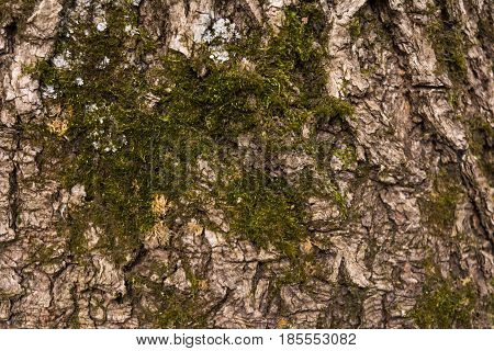Moss growing on the bark of a tree. Close-up. Rectangular photo.