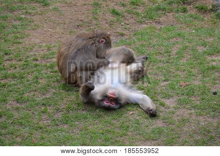 A snow monkey in the outdoors during spring