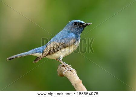 beautiful male hainan blue flycatcher (Cyornis hainana) in Thailand