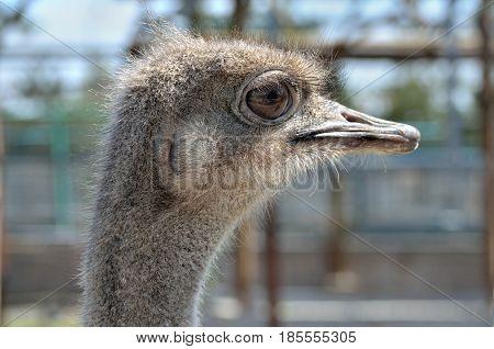Portrait Of A South American Ostrich Nandu Close-up
