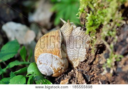 Large forest snail crawls along the old stump