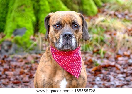 Sad Dog Stood In Woodland With Bandana