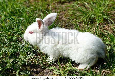 Cute White Baby Rabbit On The Grass