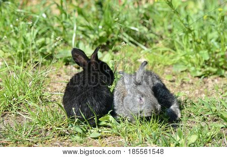 Black And Gray Cute Baby Rabbits On The Grass