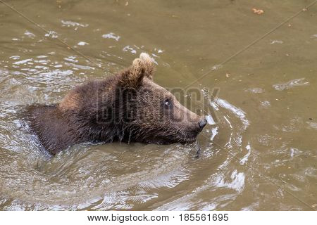 Baby brown bear is lying in the water and resting. Brown bear Ursus arctos.