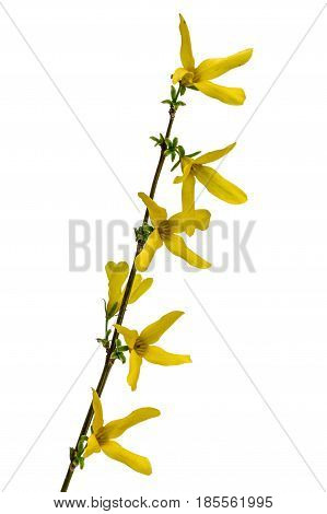 Flowers of forsythia isolated on white background