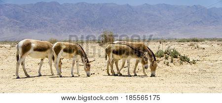 Onager is a brown Asian wild donkey (Equus hemionus) inhabits nature reserve park near Eilat, Israel