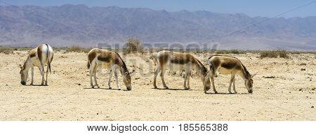 Onager (Equus hemionus) is a brown Asian wild donkey inhabits  nature reserve park near Eilat, Israel