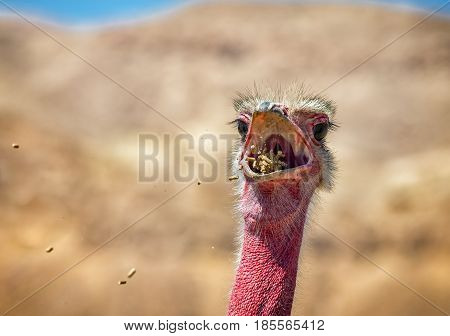 Eating male of African ostrich (Struthio camelus) in nature reserve near Eilat, Israel