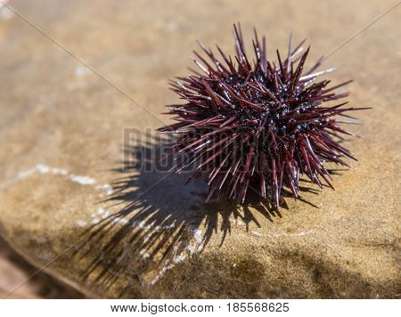 Urchin at the coast line