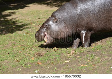 Pygmy hippo with his tusks showing as he grazes.