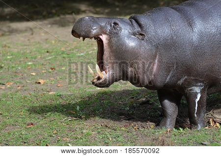 Yawning pygmy hippo with his mouth wide open.
