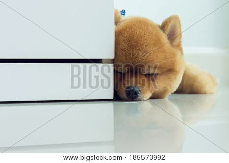 Pomeranian Puppy Dog Cute Pet Sleeping