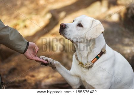 Labrador retriever dog puppy and young woman give each other the hand and paw