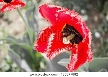 Close up of beautiful flowering red and yellow tulips in garden in springtime. Colorful spring Background. Sunny day. Detail view of blooming tulip flowers at sunlight on spring time. Spring landscape