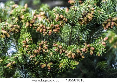 Small pinecone on a pine tree in garden spring time.