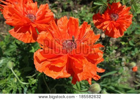 Scarlet poppy flowers with bee in a sunny day.