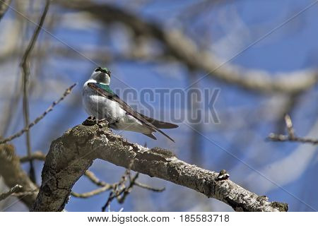 Tree swallow perched on branch in north Idaho.