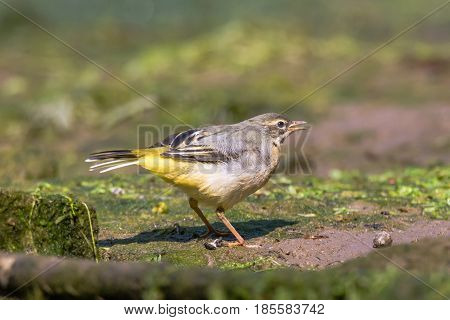 Grey wagtail (Motacilla cinerea) fledgling calling. Juvenile bird in the family Motacillidae calling to parent for feeding