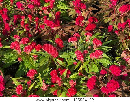 Top view of red cockscomb for background under sun light (Celosia argentea)