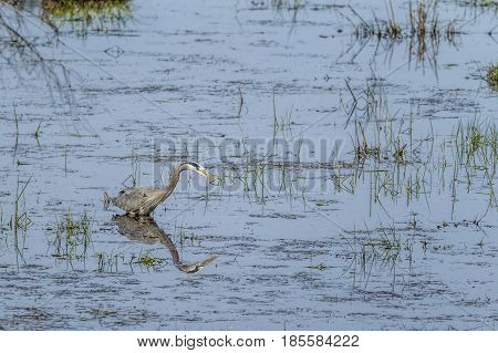 A great blue heron wades in water casting a reflection in north Idaho.
