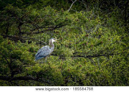 Heron in tree opens beak near Fernan Lake in Idaho.