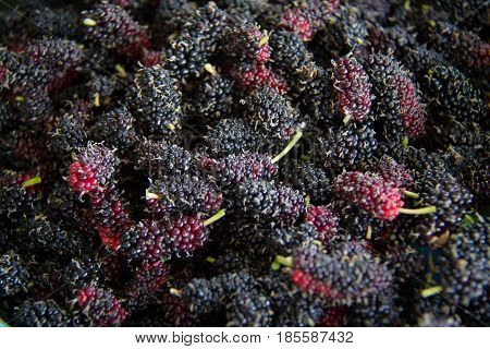 black Mulberry fruit on the branch. fresh organic mulberry fruit. black ripe and red unripe mulberries on the branch.