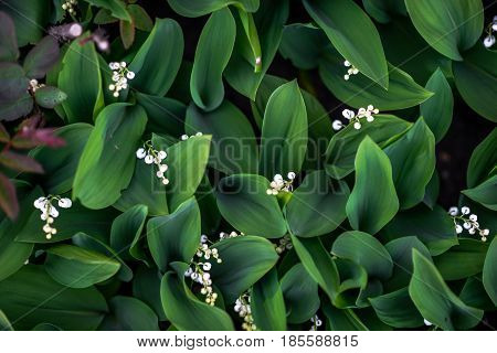Lily of the valley, top view. close up retro photo of white flowers