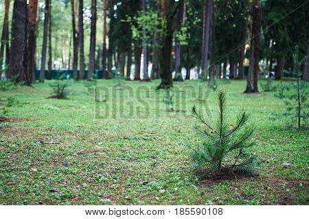 Small young green spruce pine tree plant needle stump forest woods moss background.