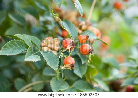 rosehip berries in nature . Photo in nature