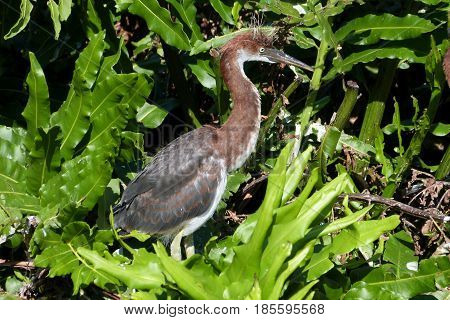 A juvenile Tricolor Heron stands waiting for parent to return with food in a Florida rookery