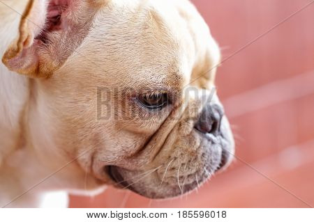Sad cute french bulldog waiting some people comeback to them.