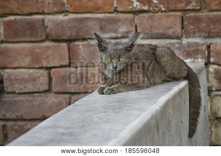 Beautiful alien cat with sad eyes sitting on a parapet against brick wall