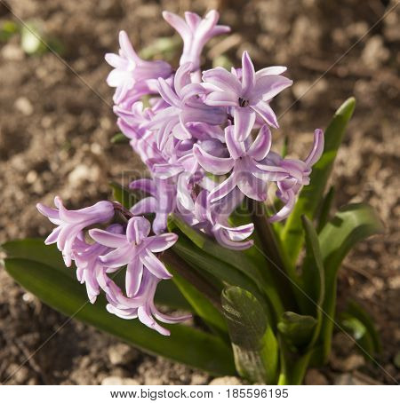 Few hyacinth flowers of pink colour in garden, vertical.