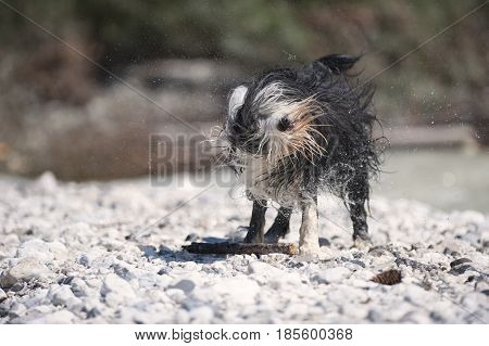 Wet dog shaking his coat after swimming in water. It is beautiful sunny day.