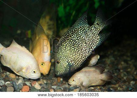 fish in the aquarium . Photo in nature