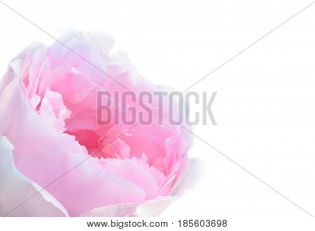 The blossoming peony flower on a white background
