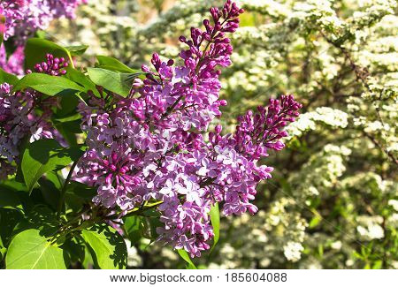 Pink violet Syringa vulgaris flowers close up.  Nature view of spring flowers.
